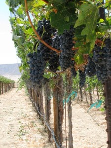 Syrah Row with Netting