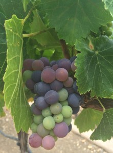 I was surprised to see that veraison had started in the vineyard in my Grenache block (6/27/15).